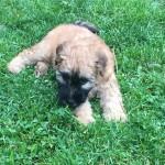 Silkcroft Soft Coated Wheaten Terriers 2015