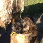 Millie's Puppies Week 8 - Silkcroft Soft Coated Wheaten Terriers 2015
