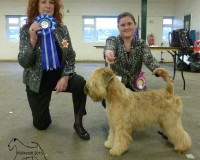 Silkcroft One Step Closer - Reserve Best Puppy In Show - Silkcroft Soft Coated Wheaten Terriers 2015