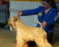 Silkcroft Soft Coated Wheaten Terriers 2015 - Tzin Tzin