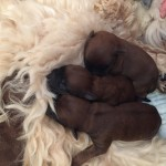Millie & Tzin's Puppies Week 1 - Silkcroft Soft-Coated Wheaten Terriers 2015