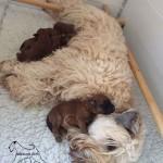 Millie & Tzin's Puppies Week 2 - Silkcroft Soft-Coated Wheaten Terriers 2015