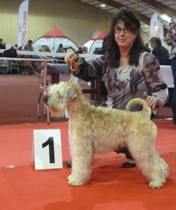 Silkcroft Your Heart To Me - Silkcroft Soft Coated Wheaten Terriers 2015