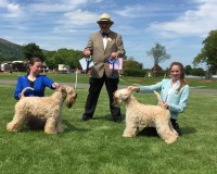 Silkcroft Soft-Coated Wheaten Terriers 2015 - Three Counties Champ Show 2015