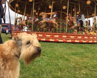 Perri at Derby County Show - Silkcroft Soft Coated Wheaten Terriers