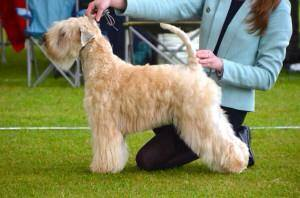 Silkcroft Sky Full Of Stars - Silkcroft Soft Coated Wheaten Terriers 2015