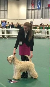 CH Silkcroft Colour Of Magic ShCM - Silkcroft Soft Coated Wheaten Terriers 2015