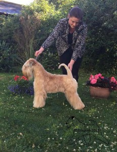 Silkcroft One Step Closer - Silkcroft Soft Coated Wheaten Terriers 2015