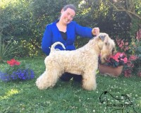 Tzin Tzin - Silkcroft Soft Coated Wheaten Terriers 2015