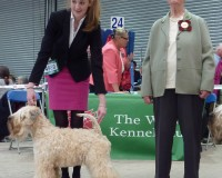 CH Silkcroft Colour Of Magic ShCM - Silkcroft Soft-Coated Wheaten Terriers 2015