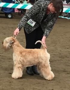 Silkcroft One Step Closer - Silkcroft Soft Coated Wheaten Terriers 2015