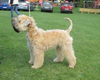 Silkcroft Dont Push It - Silkcroft Soft Coated Wheaten Terriers