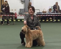 Silkcroft Auroras Encore - Silkcroft Soft Coated Wheaten Terriers 2015 - Aura TPG2 Ashbourne 2015
