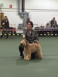 Silkcroft Auroras Encore - Silkcroft Soft Coated Wheaten Terriers 2015 - Aura TPG2 Ashbourne 2015