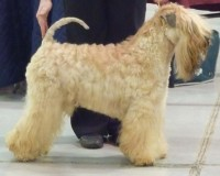 CH Modny Style Loverboy at Seamrog - LKA 2015 - Silkcroft Wheaten Terriers 2015