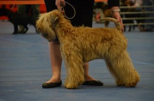 Aura Boston 2016 - Silkcroft Soft Coated Wheaten Terriers 2016
