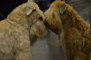 Boston 2016 - Silkcroft Soft Coated Wheaten Terriers