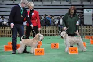 Enya - Silkcroft Don't Push It - Silkcroft Soft Coated Wheaten Terriers 2016