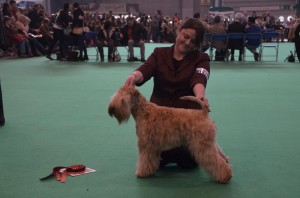 Aura - Crufts 2016 - Silkcroft Soft Coated Wheaten Terriers