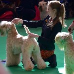 Beckett - Crufts 2016 - Silkcroft Soft Coated Wheaten Terriers