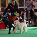 Lola - Crufts 2016 - Silkcroft Soft Coated Wheaten Terriers