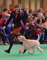 Lola - Crufts 2016 - Silkcroft Soft Coated Wheaten Terriers