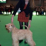 Millie - Crufts 2016 - Silkcroft Soft Coated Wheaten Terriers
