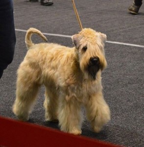 Enya - Silkcroft Soft Coated Wheaten Terriers - Offenburg 2016