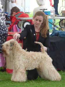 Bath 2016 - Millie - Silkcroft Soft-Coated Wheaten Terriers 2016