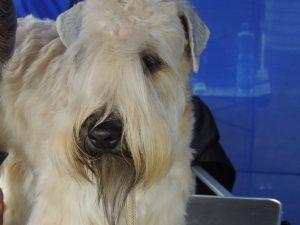 Silkcroft Dont Push It - Enya - Silkroft Soft Coated Wheaten Terriers 2016 - Poland 2016