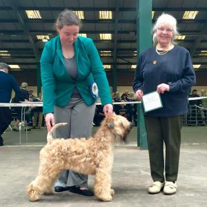 Chase Wins Reserve Challenge Certificate at National Terrier 2016