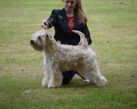 Lola - Silkcroft Sky Full Of Stars - Silkcroft Soft Coated Wheaten Terriers