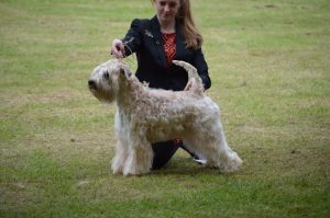 Silkcroft Sky Full Of Stars - Totnes & District - Silkcroft Soft Coated Wheaten Terriers 2016
