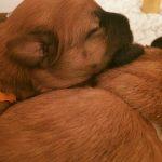 Silkcroft Soft Coated Wheaten Terrier Puppy 2016
