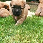 Libby Puppies 2016 - Silkcroft Soft Coated Wheaten Terriers
