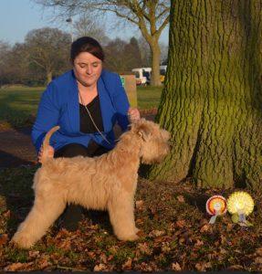 Anwyn TPG3 Ashbourne 2016 - Silkcroft Soft Coated Wheaten Terriers 2016