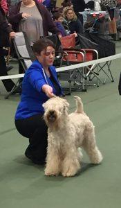 Beckett RBOB Ashbourne 2016 - Silkcroft Soft Coated Wheaten Terriers 2016