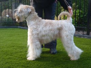 BEL CH Silkcroft Waiting For You - Silkcroft Soft Coated Wheaten Terriers 2016 - Bryony