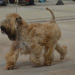 Chase WKC 2016 - Silkcroft Soft Coated Wheaten Terriers 2016
