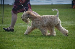 Perri Driffield 2016 - Silkcroft Soft Coated Wheaten Terriers 2016