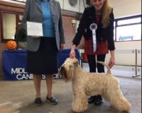 Millie 23rd CC Midland Counties - Silkcroft Soft Coated Wheaten Terriers 2016