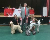 Millie Top Dog Of Dorset 2016 - Silkcroft Soft Coated Wheaten Terriers 2016