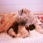 Lottie Puppies 2016 - Silkcroft Soft Coated Wheaten Terriers 2016