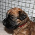 Lottie Puppies Week 4 - Silkcroft Soft Coated Wheaten Terriers 2016