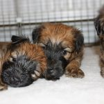 Lottie Puppies Week 5 - Silkcroft Soft Coated Wheaten Terriers 2016