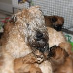 Lottie Puppies Week 6 - Silkcroft Soft Coated Wheaten Terriers 2016