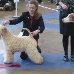 Lola BOB & TG1 Newton Abott 2017 - Silkcroft Soft Coated Wheaten Terriers 2017
