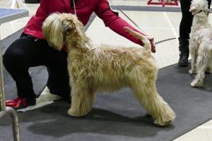 Ani - Silkcroft Soft Coated Wheaten Terriers - Terrier Club of Devon & Cornwall 2017