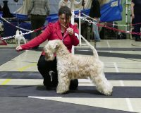 Beckett - Silkcroft Soft Coated Wheaten Terriers - Terrier Club of Devon & Cornwall 2017