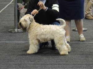 Enya - Silkcroft Soft Coated Wheaten Terriers 2017